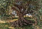 Обои Komar 8-531 Olive Tree