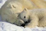 Обои Komar 1-605 Polar Bears