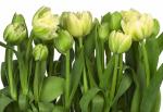 Обои Komar 8-900 Tulips