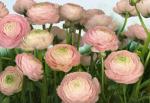 Обои Komar 8-894 Gentle Rosé