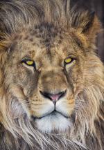 Обои Komar 1-619 Lion