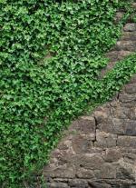 Обои Komar 4-324 Ivy