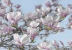 Обои Komar 8-738 Magnolia